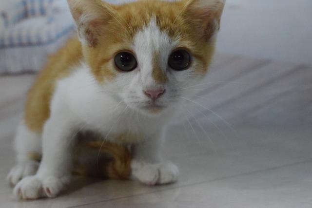MIX(猫)