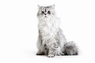 値段 ペルシャ 猫