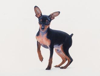 Resultado de imagen para 犬 Mini Pinscher  陽気な