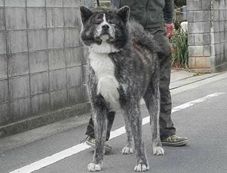 価格 秋田犬